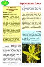 Asphodeline lutea - Piante spontanee in cucina
