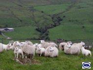 EID in sheep - Louise Moorhouse