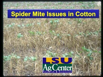 Spider Mite Issues in Cotton