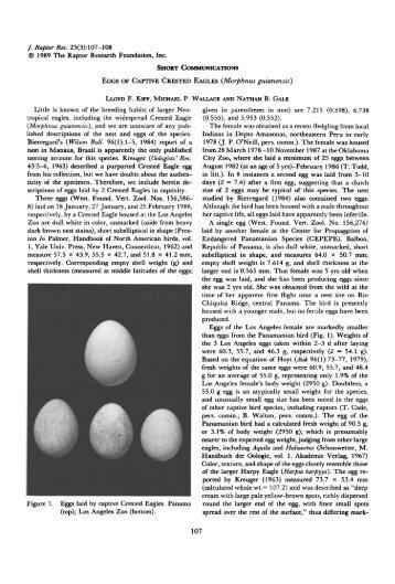 Eggs of Captive Crested Eagles (Morphnus guianensis