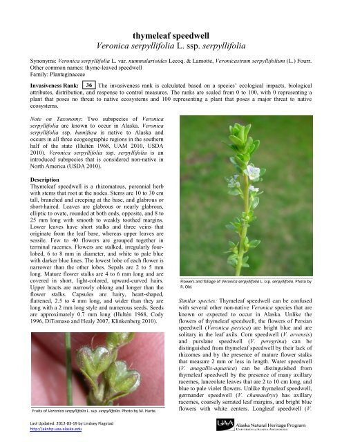 Serpyllifolia