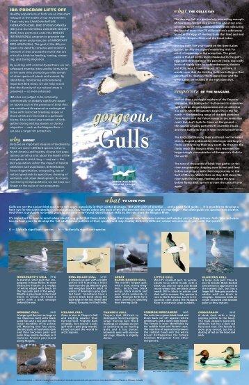 IBA/ gull - Niagara Parks