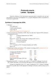 Protocole souris Lames: Synapse
