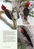 Helmeted Woodpecker dryocopus galeatus - Birding Brazil Tours - Page 4
