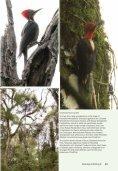 Helmeted Woodpecker dryocopus galeatus - Birding Brazil Tours - Page 5
