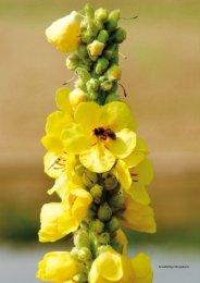 Die Blüten der bis zu 2 Meter grossen Königskerze sind ... - Natürlich