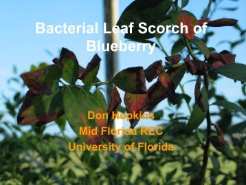 Bacterial Leaf Scorch of Blueberry - The Southern Region Small ...