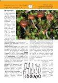 Trockener Kahlkopf Psilocybe montana - Tintling - Seite 2