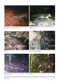 Recent Cat Records by Camera Traps in Peninsular Malaysia and ... - Page 2