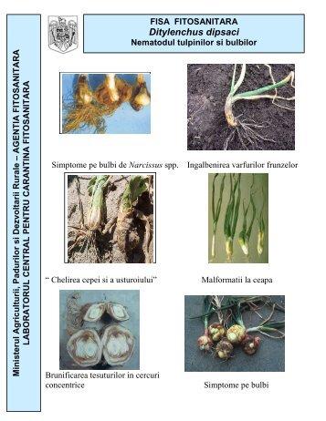 Ditylenchus dipsaci Ditylenchus dipsaci - MADR
