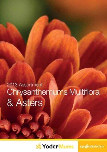 2013 Multiflora & Aster Assortment