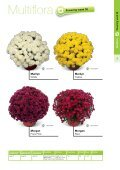 2013 Multiflora & Aster Assortment - Page 3