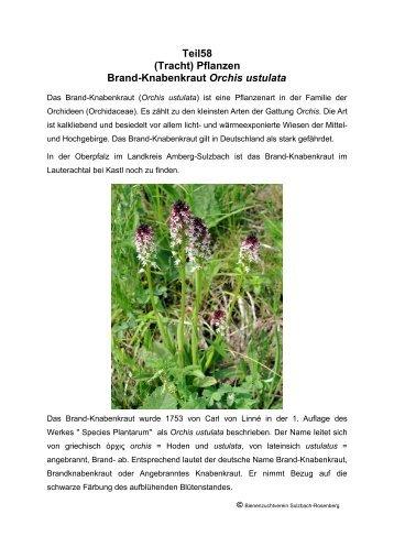 Teil58 (Tracht) Pflanzen Brand-Knabenkraut Orchis ustulata