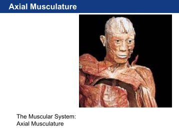 Unit Three - Axial Musculature