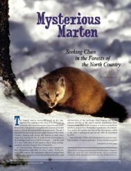 Mysterious Marten - New Hampshire Fish and Game Department