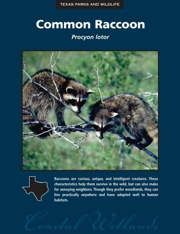 Common Raccoon - The State of Water
