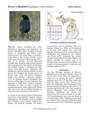 Brewer's Blackbird - Michigan Breeding Bird Atlas Website