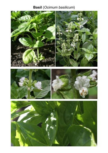 MG Food M12 Mint family-Lamiaceae 8 Vegetables ... - Plantscafe.net