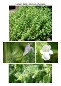 MG Food M12 Mint family-Lamiaceae 8 Vegetables ... - Plantscafe.net - Page 2