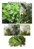 MG Food M12 Mint family-Lamiaceae 8 Vegetables ... - Plantscafe.net - Page 3