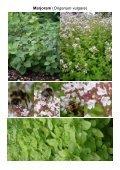 MG Food M12 Mint family-Lamiaceae 8 Vegetables ... - Plantscafe.net - Page 4