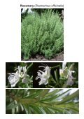 MG Food M12 Mint family-Lamiaceae 8 Vegetables ... - Plantscafe.net - Page 6