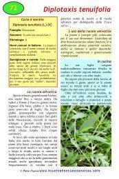 Diplotaxis tenuifolia - Piante spontanee in cucina