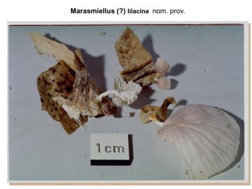 Marasmiellus lilacina - pilze-basel