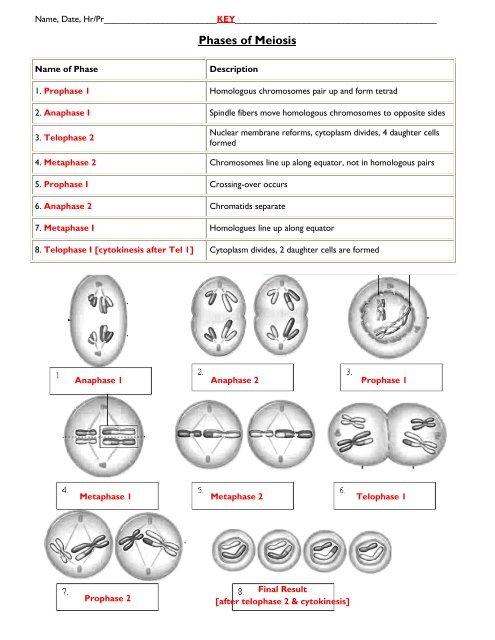 Meiosis Worksheet 13 Key Meiosis Worksheet On The Lines