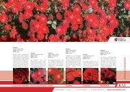 6 Strauchrosen.indd - Rosen Waibel