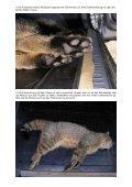 Wildkatze - Plagge-germany.de - Seite 3