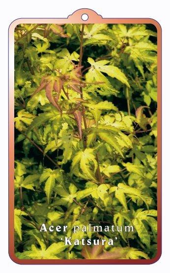 Acer palmatum 'Katsura' - wjhooftman.nl