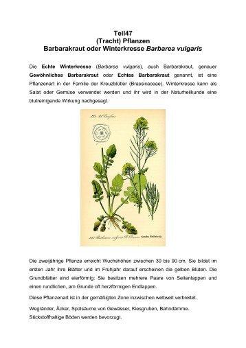 (Tracht) Pflanzen Barbarakraut oder Winterkresse Barbarea vulgaris