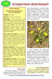 Urospermum dalechampii - Piante spontanee in cucina