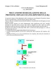 Laura Bergamaschi : Regolazione di Cdc2