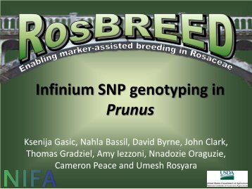 Infinium SNP genotyping in Prunus - RosBREED