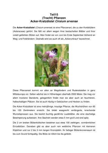 Teil15 (Tracht) Pflanzen Acker-Kratzdistel Cirsium arvense