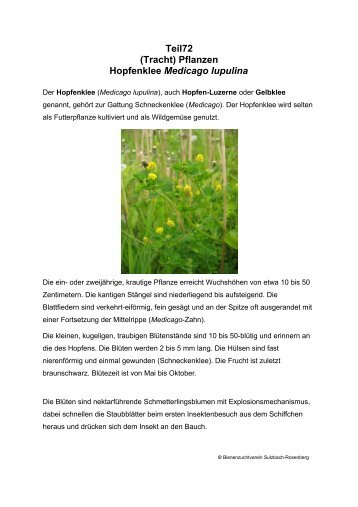 Teil72 (Tracht) Pflanzen Hopfenklee Medicago lupulina