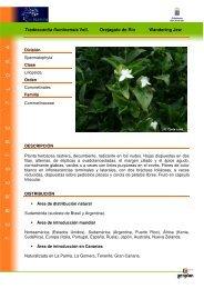 Tradescantia fluminensis Vell. Orejagato de Río ... - Interreg Bionatura