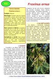 Fraxinus ornus - Piante spontanee in cucina