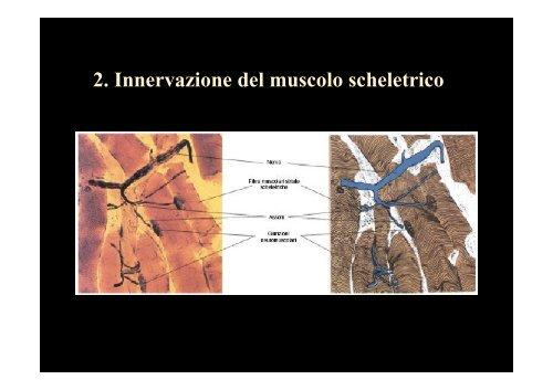 L'apparato muscolare - Medicina e chirurgia