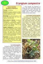 Eryngium campestre - Piante spontanee in cucina