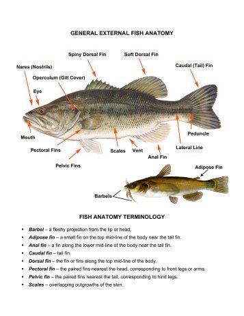 Fish External Anatomy Placoid Scales Bony Scales Bony Scales