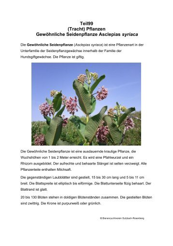 (Tracht) Pflanzen Gewöhnliche Seidenpflanze Asclepias syriaca
