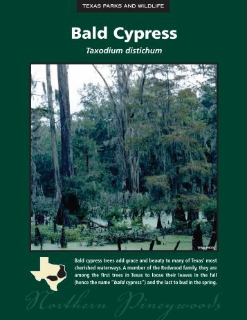 Bald Cypress - The State of Water