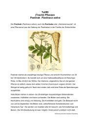 Teil86 (Tracht) Pflanzen Pastinak Pastinaca sativa