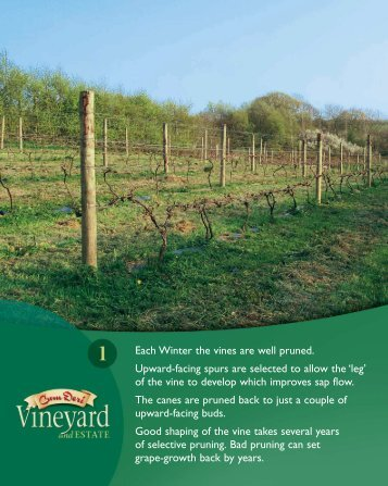Each Winter the vines are well pruned. Upward-facing spurs are ...