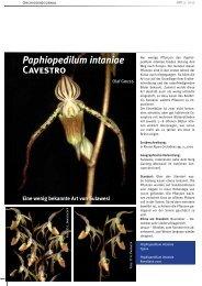 Paphiopedilum intaniae Cavestro