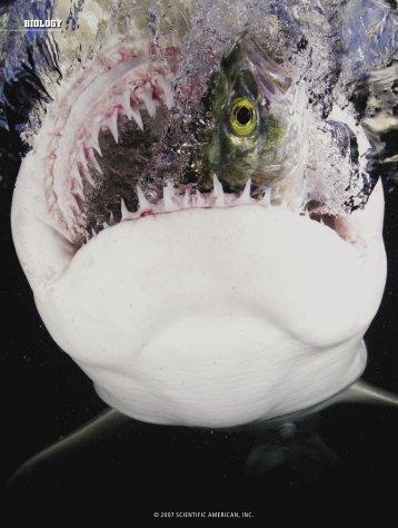 The Shark's Electric Sense - Scientific American Digital
