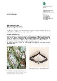 Buchsbaumzünsler (Diaphania perspectalis)